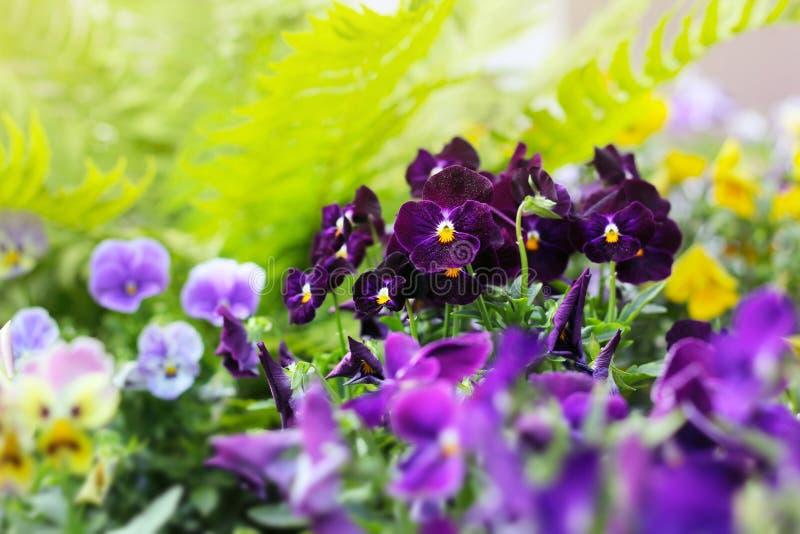Bloembed van altviooltricolor of kus-me-snel (hart-gemak bloemen stock fotografie