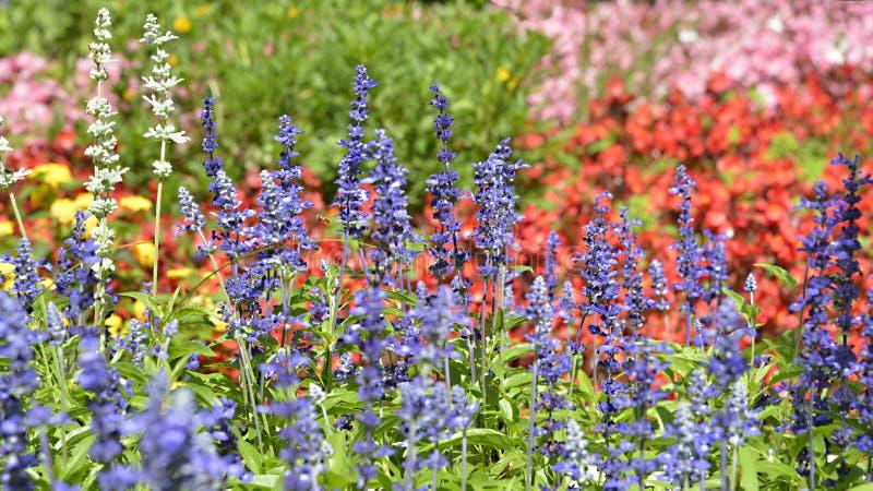 Bloembed van Blauwe Salvia stock afbeelding