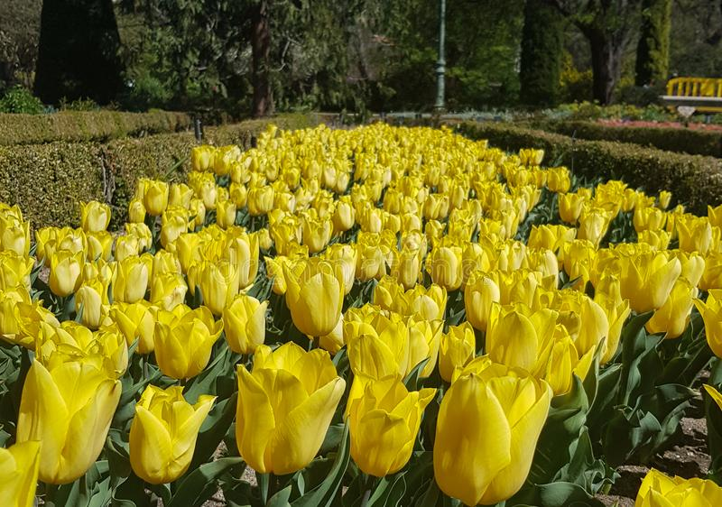Bloembed van Gele tulpen in Spanje stock afbeelding
