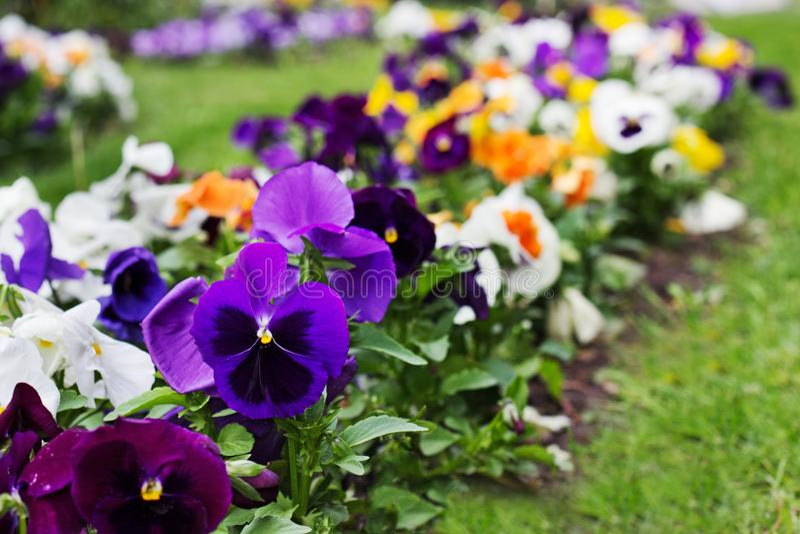 Bloembed van multicolored altviooltricolor in de zomer royalty-vrije stock foto's