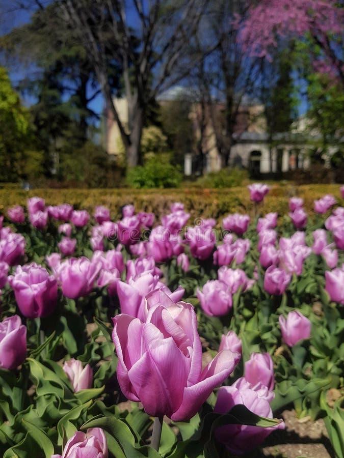 Bloembed van tulpen stock foto's