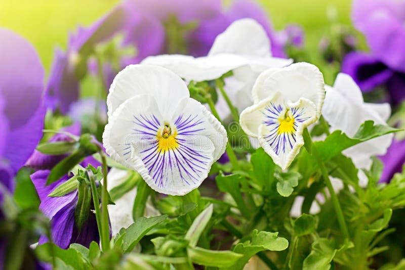 Bloembed van violette altviooltricolor of kus-me-snel hart-gemak stock foto
