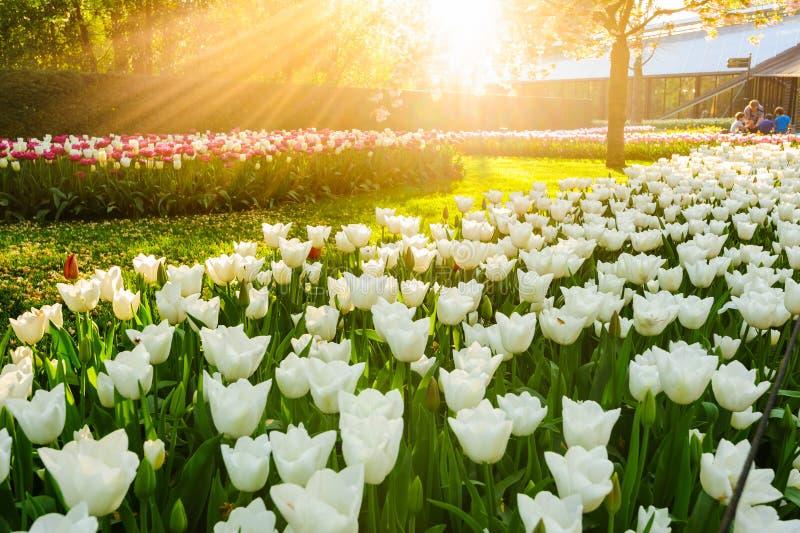 Bloembedden van Keukenhof-Tuinen in Lisse, Nederland stock afbeelding