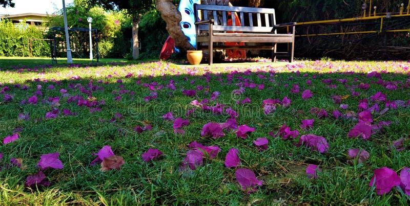 Bloemblaadjes van bougainvillea op gras in tuin met speelplaats, familiehotel in Kemer, Mediterrane kust, Turkije stock foto