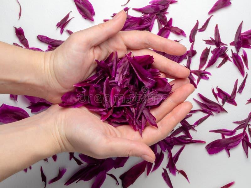 Bloemblaadjes van donkere roze pioenen in de handen van een vrouw stock foto