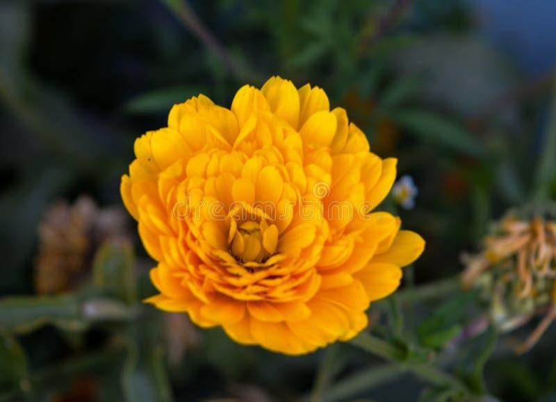Bloemblaadjes van een gele Asterbloem royalty-vrije stock afbeelding
