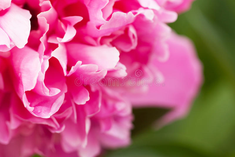Bloemblaadjes van een pioenclose-up stock afbeeldingen