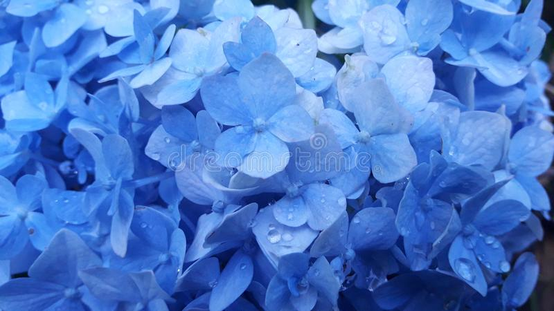 Bloemblauw royalty-vrije stock foto