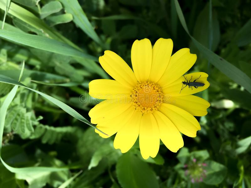 Bloemchrysant die in het hart van aard bloeien royalty-vrije stock afbeeldingen