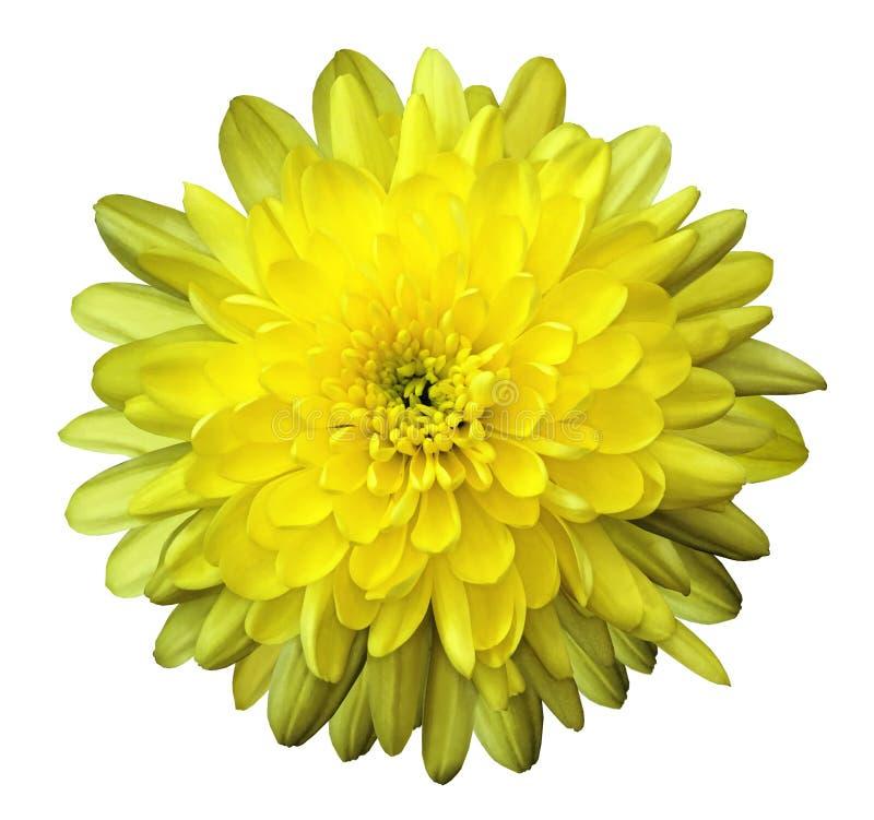 Bloemchrysant geel op een wit geïsoleerde achtergrond met het knippen van weg nave Close-up geen schaduwen royalty-vrije stock afbeeldingen