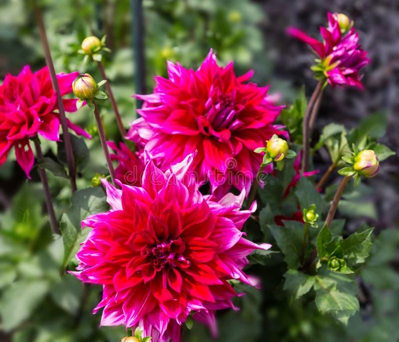 Bloemdahlia dekorative Babylon Paars in de tuin stock fotografie