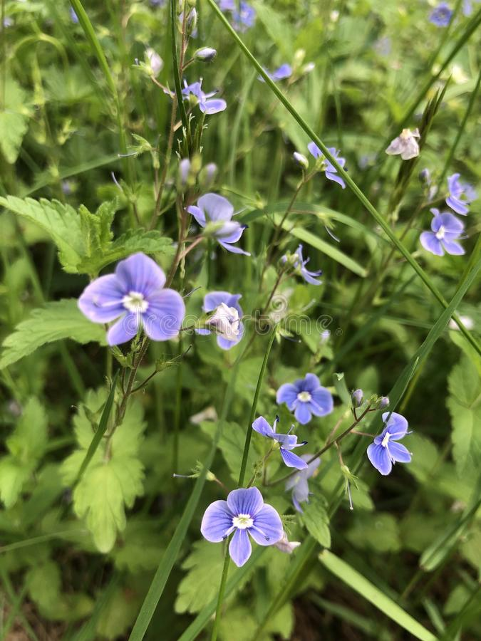 Bloemen, aard, viooltje, purple, in nadruk, Bloemen, aard, viooltje, purple, in nadruk stock foto