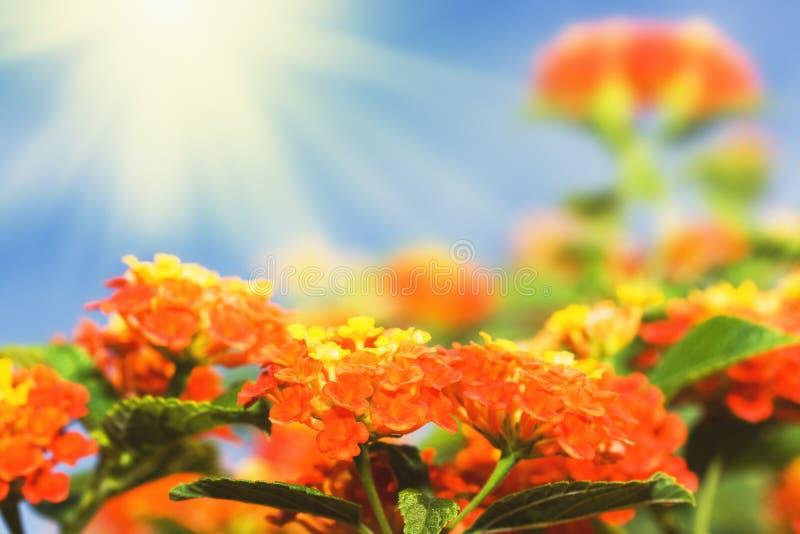 Bloemen achtergrond. De bloemen van Lantana stock fotografie