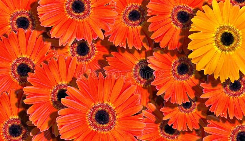 Bloemen achtergrond de heldere oranje achtergrond van de gerberastextuur Natuurlijke oranje achtergrond stock afbeelding