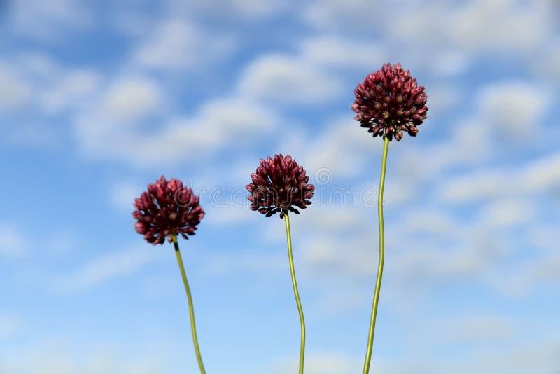 Bloemen achtergrond Drie rode bloemen van wilde uien tegen de blauwe hemel met witte wolken stock foto