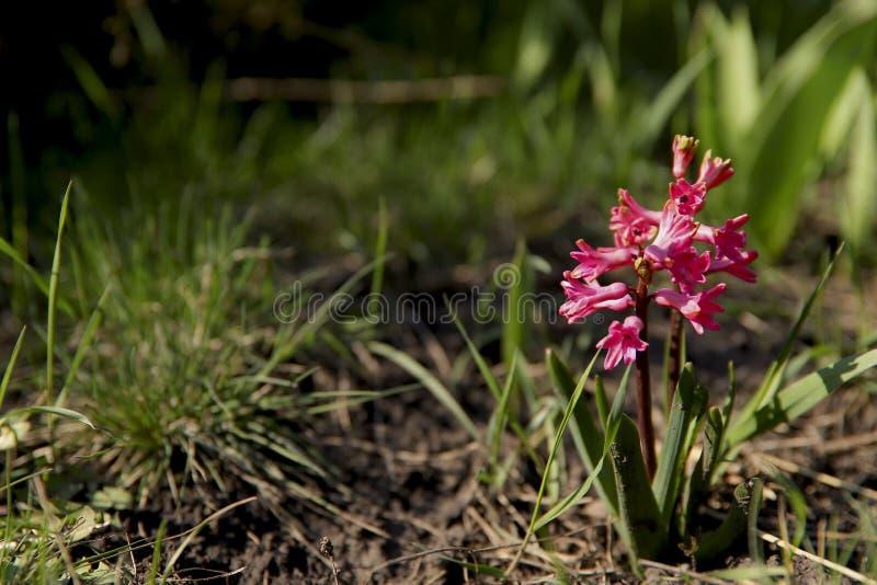 Bloemen achtergrond Roze Hyacinthus in groen gras in de tuin royalty-vrije stock fotografie