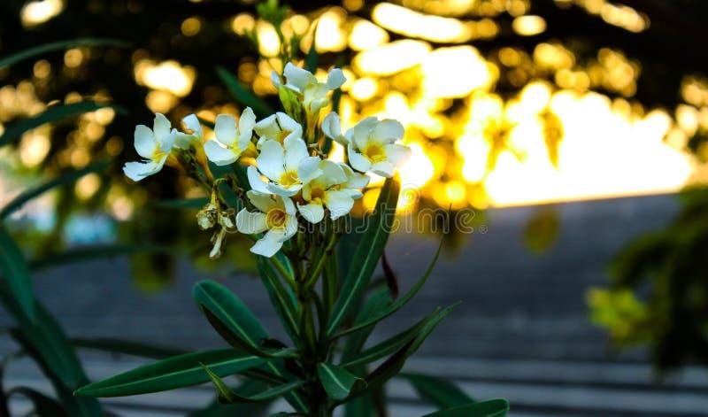 Bloemen bij Zonsondergang royalty-vrije stock fotografie