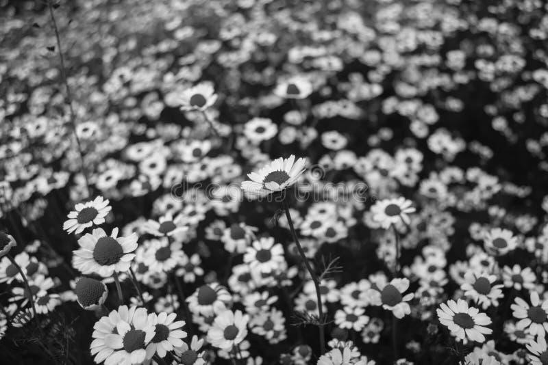 bloemen, blackwhite, royalty-vrije stock fotografie