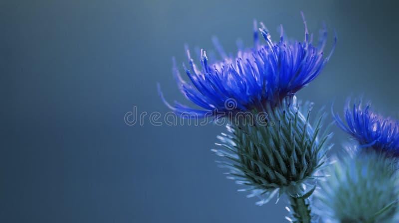 Bloemen Blauwe Achtergrond Heldere Blauwe netelige distelbloem Een blauwe bloem op een blauwe achtergrond close-up stock afbeelding