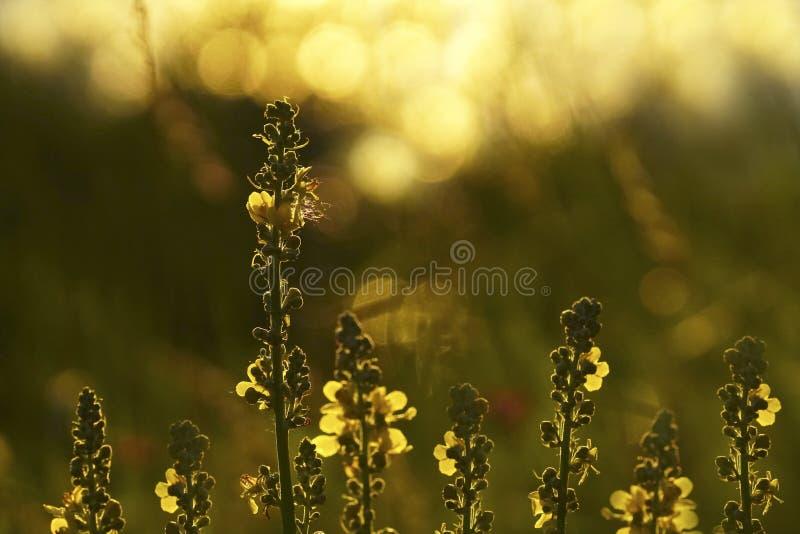 Bloemen bos Bloemen mooie achtergrond De gele bloemen bloeien in een opheldering in de zonneschijn bij zonsondergang op een de zo stock fotografie