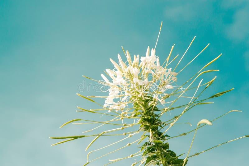 Bloemen, Cleome-bloem (Cleome-hassleriana), spinbloemen royalty-vrije stock foto's