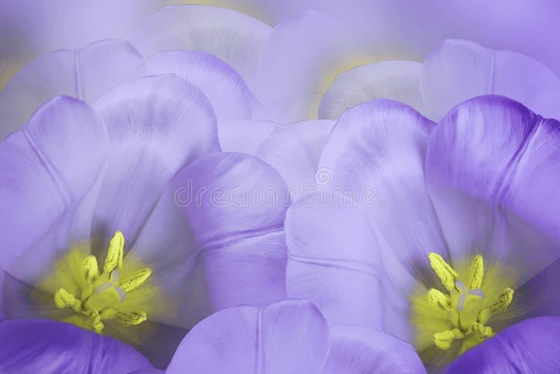 Bloemen de lente violette achtergrond Bloesem van bloemen de purpere tulpen Close-up De kaart van de groet royalty-vrije stock afbeeldingen