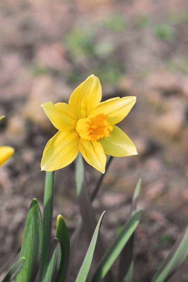 Bloemen in de tuin daffodils royalty-vrije stock foto