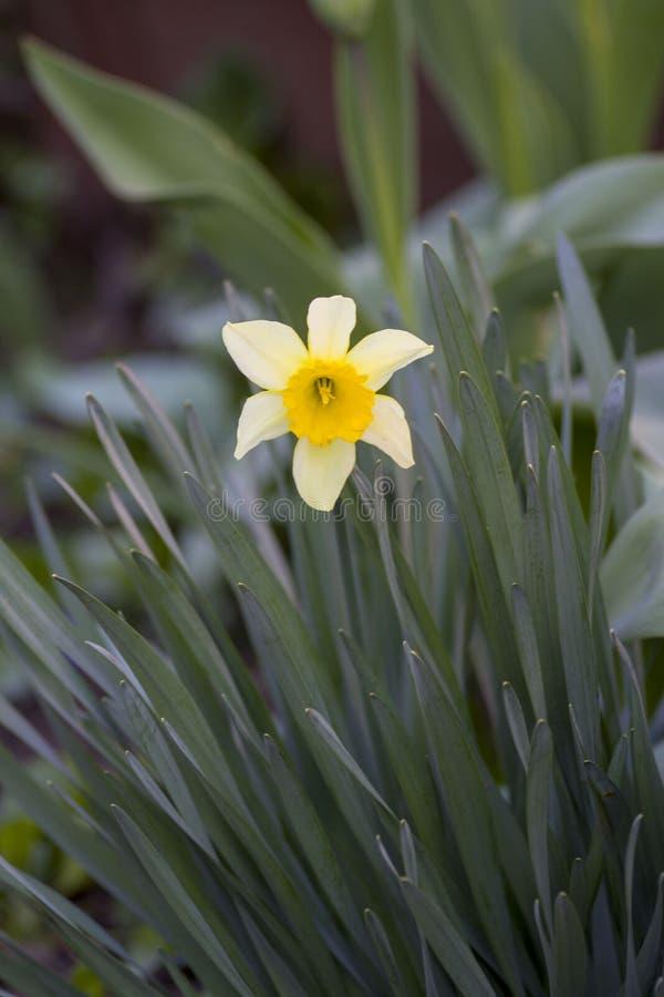 Bloemen in de tuin De lente Witte bloem Gele Bloem Bloemnarcissen Gras Groene Achtergrond royalty-vrije stock foto