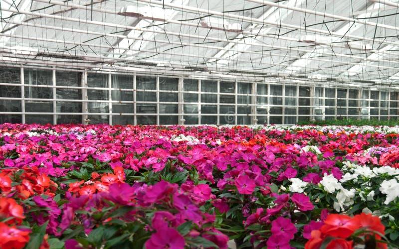Bloemen die in een serre bloeien royalty-vrije stock foto