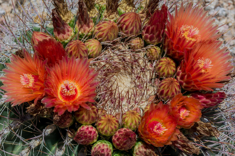 Bloemen die op het Vatcactus van Arizona bloeien stock foto