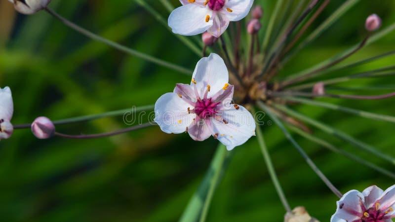 Bloemen die stormloop of Butomus-umbellatus bloeien bij vijver macro, selectieve nadruk, ondiepe DOF royalty-vrije stock fotografie