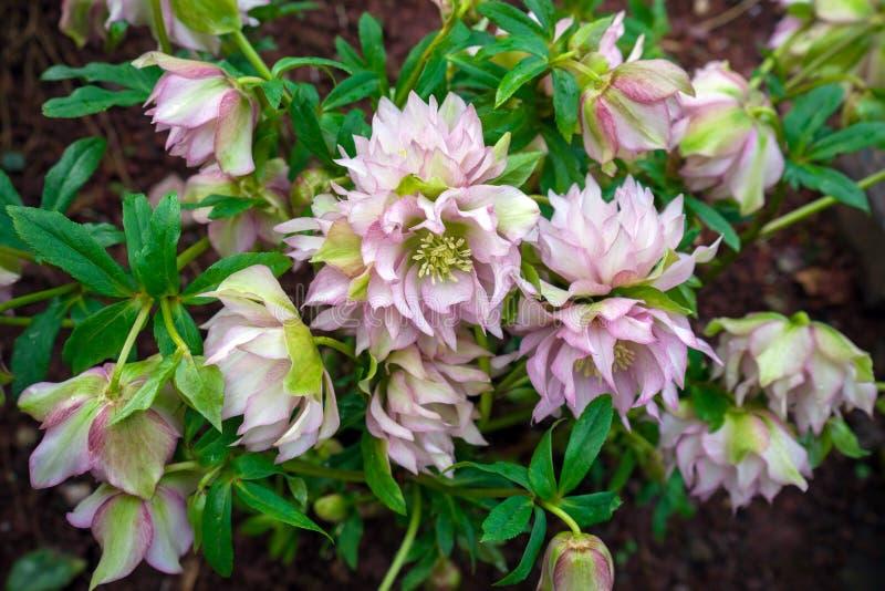 Bloemen die van de Helleborus de Roze Dame in de vroege lente in de tuin bloeien stock fotografie