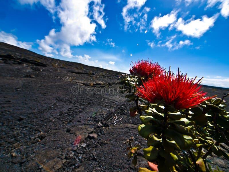 Bloemen in een Woestijn van de Lava stock fotografie