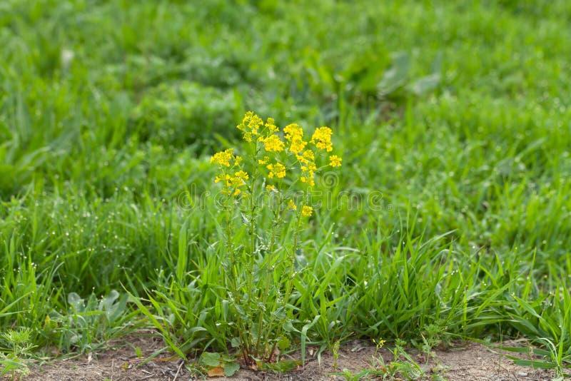 Bloemen en dauw op het gras De lente in de Tuin Selectienadruk Ondiepe Diepte van Gebied stock afbeelding