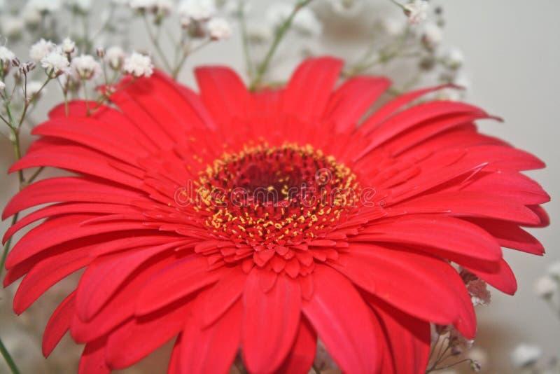Bloemen en kleuren, mooi rood madeliefje royalty-vrije stock afbeelding