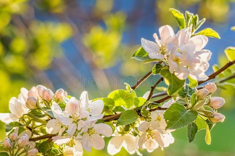 Bloemen en knoppen van Apple-boom in de de lentetuin royalty-vrije stock fotografie