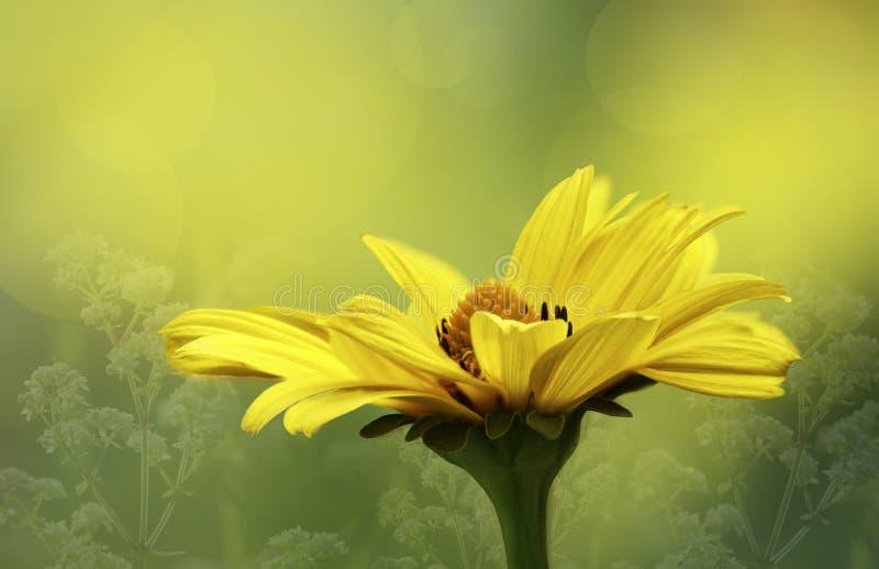 Bloemen geelgroene achtergrond Het gele close-up van de madeliefjebloem op een zonnige de zomerdag in een bos in een opheldering stock foto