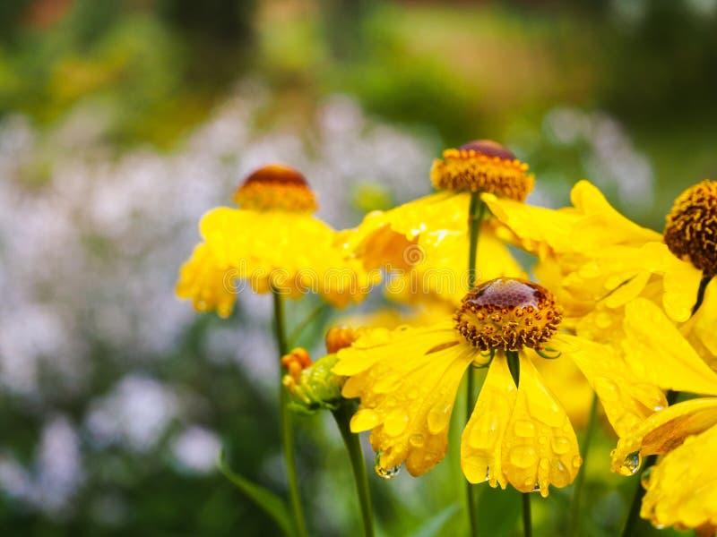 Bloemen Gelenium in de regen De herfst gele bloemen royalty-vrije stock afbeeldingen