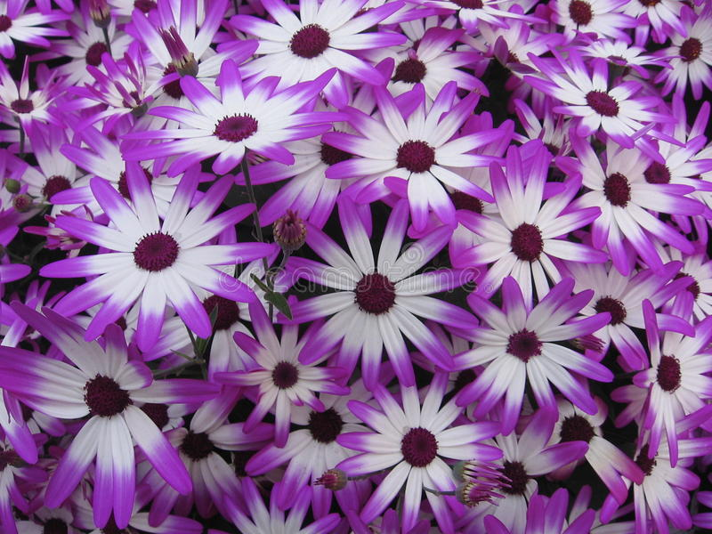 Bloemen - gerbera 3 stock fotografie