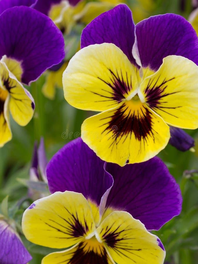 Bloemen heldere gele en purpere altviolen stock foto