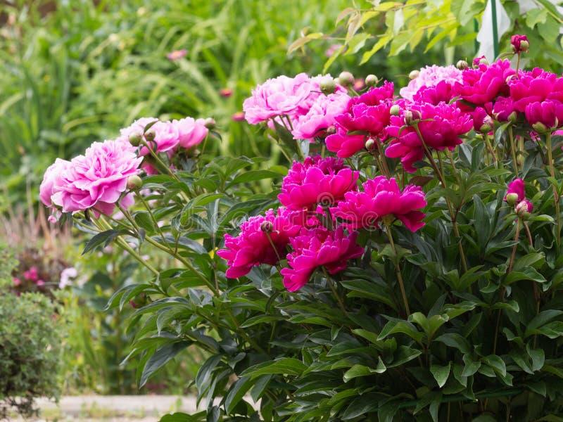 Bloemen heldere purper-roze pioenen royalty-vrije stock afbeeldingen