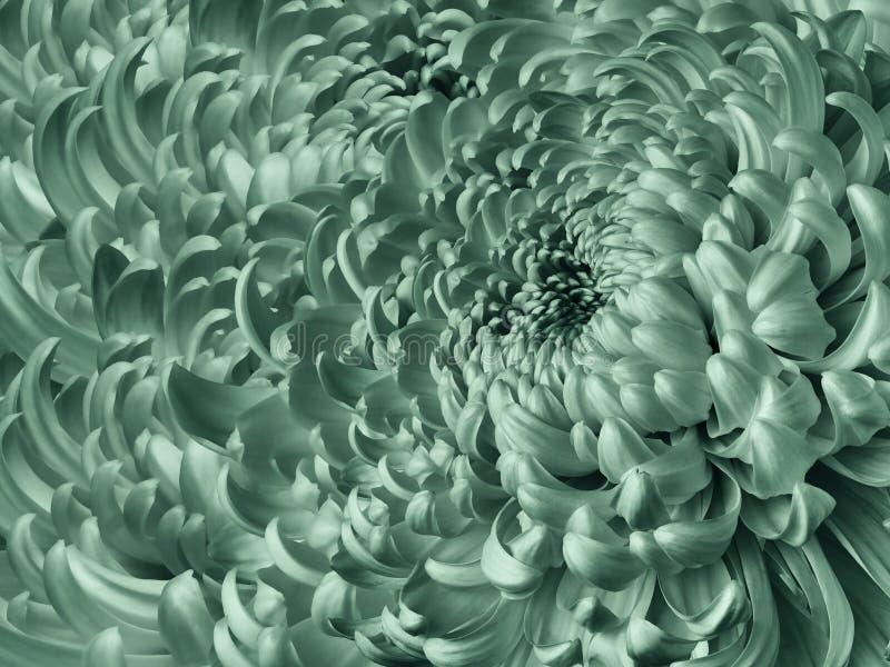 Bloemen heldere turkooise achtergrond Close-up van de bloem het blauwe chrysant Chrysantenbloemblaadjes royalty-vrije stock foto