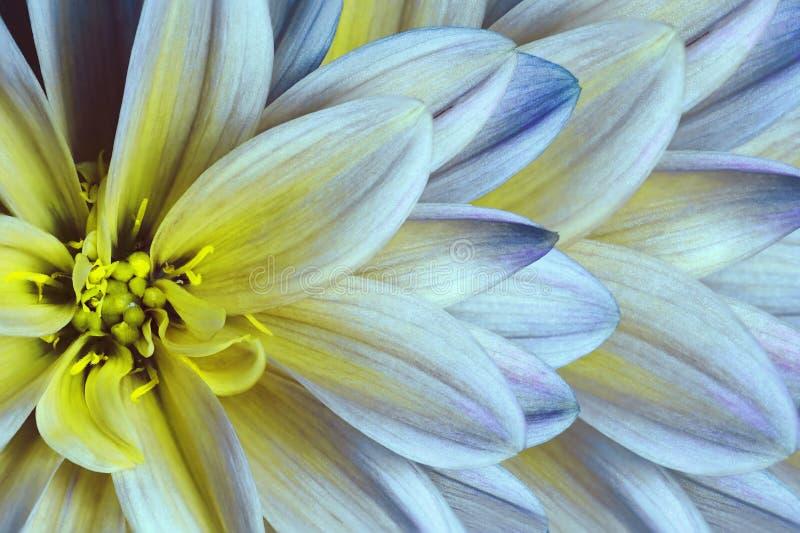 Bloemen kleurrijke geel-blauw-witte mooie achtergrond De samenstelling van de bloem Een close-up van de chrysantenbloem stock foto