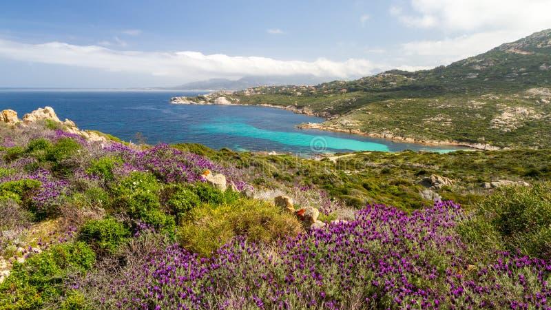 Bloemen in maquis bij La Revellata dichtbij Calvi in Corsica stock fotografie