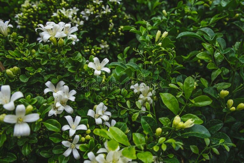 Bloemen met weelderige groene bladeren van Oranje jessamine in tuin stock foto's