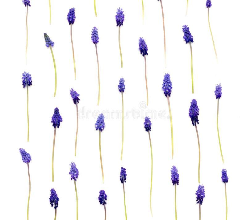 bloemen Muscari op witte achtergrond wordt geïsoleerd die royalty-vrije stock afbeeldingen