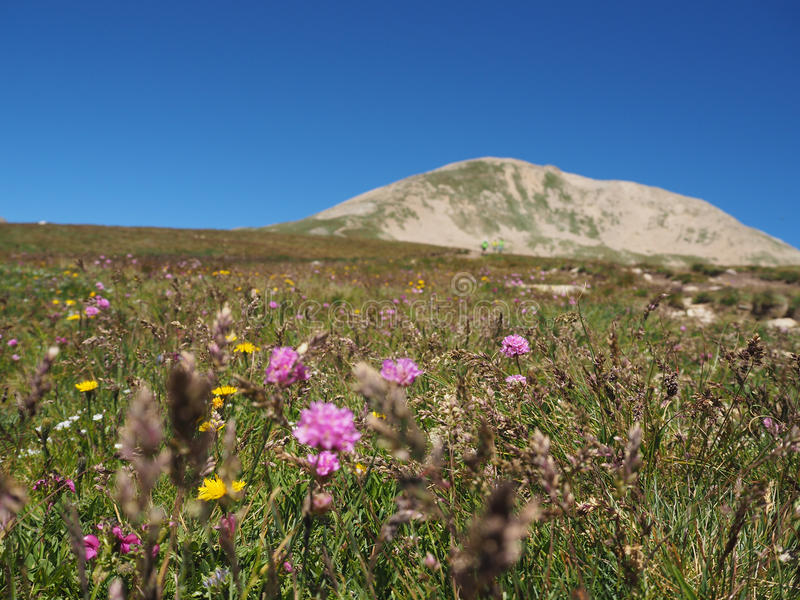 Bloemen op de berg met een mooie blauwe hemel in Spaanse pyr stock afbeelding