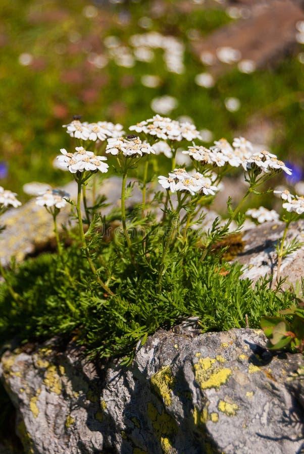 Bloemen op een Alpien weideclose-up die op de rotsen groeien Zwitserse Alpen stock afbeeldingen