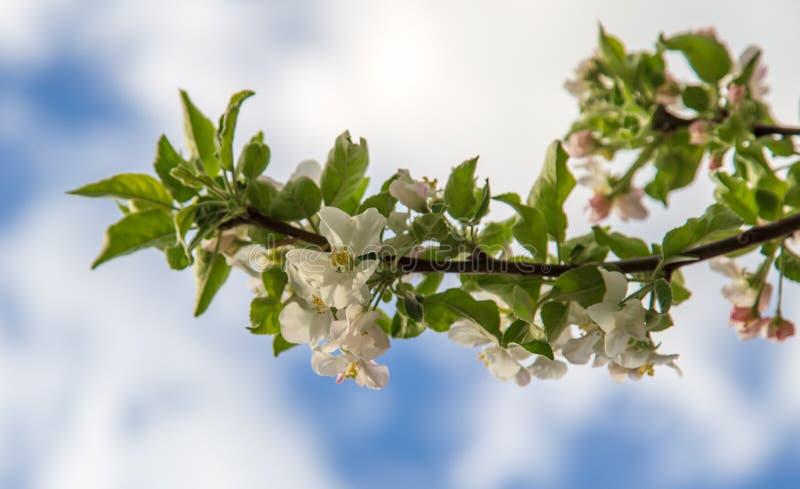 Bloemen op een fruitboom in de lente royalty-vrije stock afbeelding