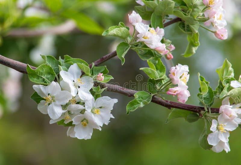 Bloemen op een fruitboom in de lente stock foto's